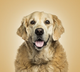 Close-up of a Golden retriever panting, on beige background