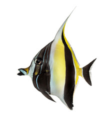 Side view of a Pennant Coralfish, Heniochus acuminatus