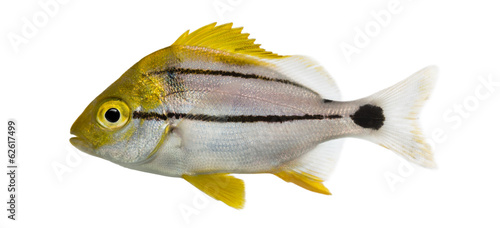 Side view of a Porkfish, Anisotremus virginicus
