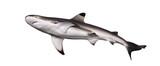 Blacktip reef shark viewed from below, Carcharhinus melanopterus