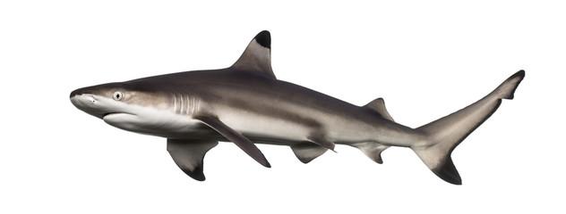 Side view of a Blacktip reef shark, Carcharhinus melanopterus
