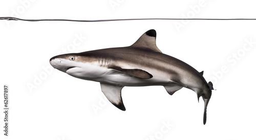 Blacktip reef shark swimming under water line