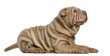 Side view of a Shar Pei puppy lying, looking up