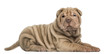 Side view of a Shar Pei puppy lying, looking at the camera