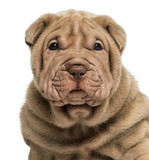 Close-up of a Shar Pei puppy, isolated on white - 62618290