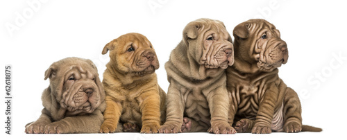 Front view of Shar Pei puppies sitting in a row, looking away