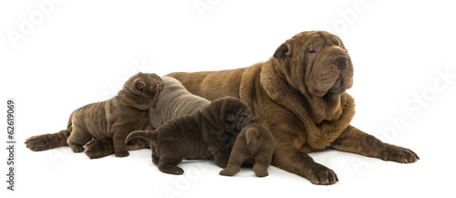 Shar Pei mom lying down, breastfeeding her puppies