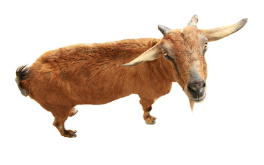 Brown goat isolated