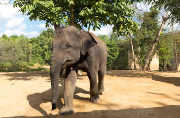 Elefant walk outdoors against trees