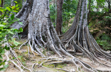 Tropical tree roots. Sri Lanka