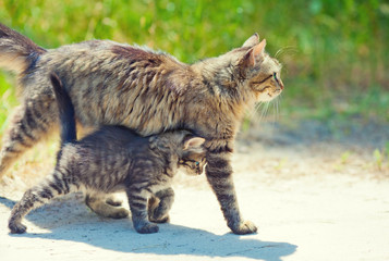 Mom cat walking with little kitten