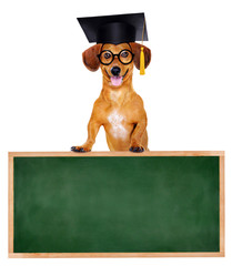 dachshund dog in mortar board standing on school board