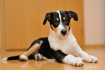 Smooth Collie puppy lying on the floor