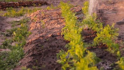 полив морковки на ферме из лейки