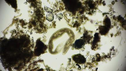 Wurm - Mikroorganismus unter dem Mikroskop