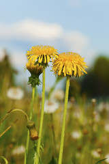 Dandelion, Taraxacum, both blooming and overblown flowers