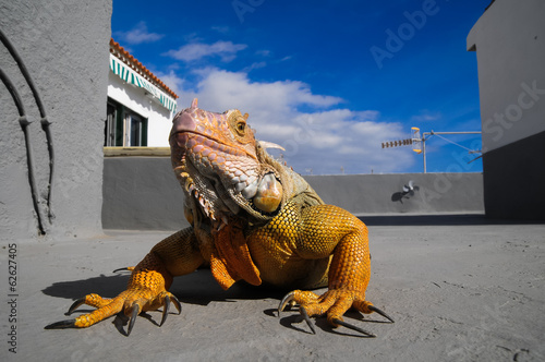 Colored Young Male Iguana