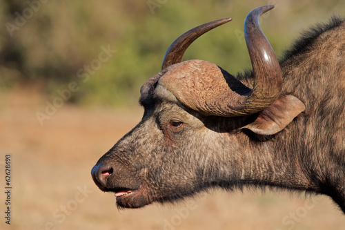 Portriat of an African or Cape buffalo