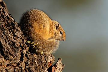 Tree squirrel, Kruger National Park
