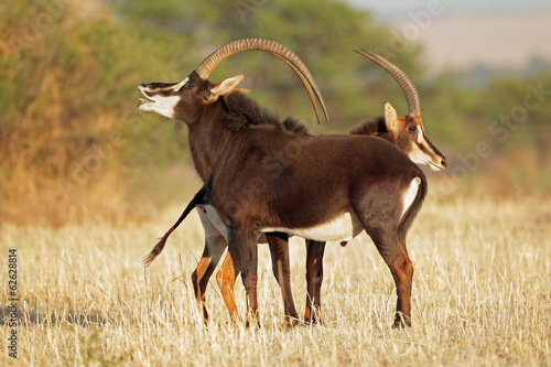 Staande foto Antilope Pair of sable antelopes