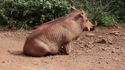 A warthog resting on its haunches