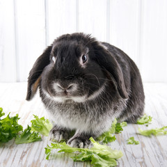 Cute soft black lop bunny rabbit