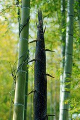 Bamboo shoot-6