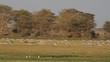 Zebras and wildebeest grazing, Amboseli National Park