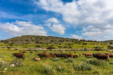 Herd of cows on the pasture.