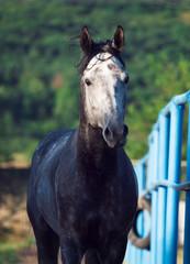 portrait of gray racing  arabian horse in paddock