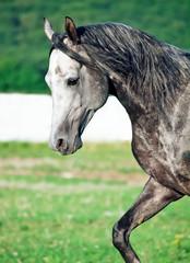 portrait of gray racing  arabian horse in movement