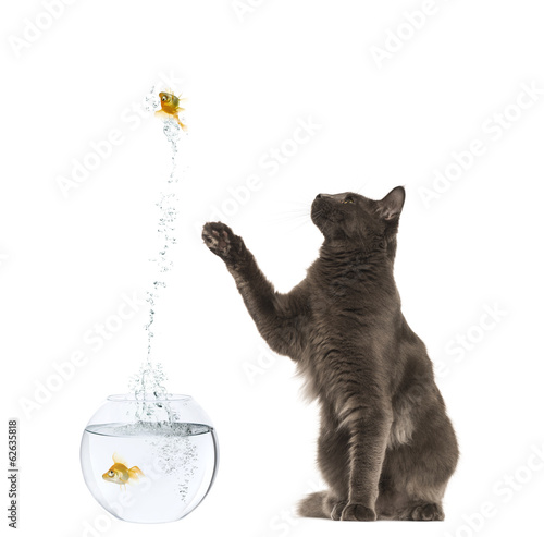 Maine Coon reaching at a goldfish jumping out of its aquarium