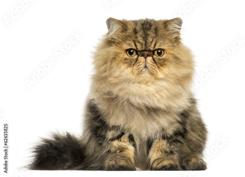 Front view of a grumpy Persian cat facing, looking at the camera
