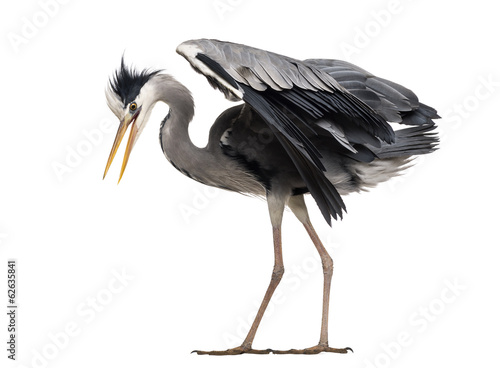 Side view of an upset Grey Heron, looking down