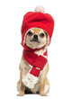 Chihuahua wearing christmas hat and scarf, sitting
