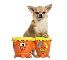 Front view of a Chihuahua playing drums, isolated on white