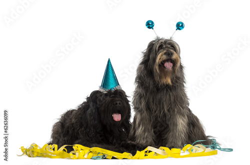 Couple of Catalan sheepdogs wearing party hats, panting