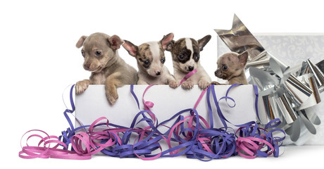 Group of Chihuahua puppies in a present box with streamers