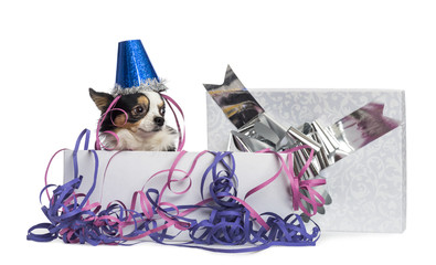 Chihuahua wearing a party hat in a present box with streamers, i