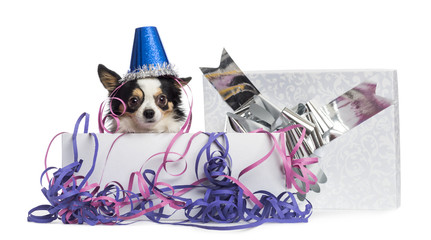 Chihuahua wearing a party hat in a present box with streamers