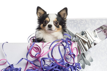 Close-up of a Chihuahua in a present box, isolated on white