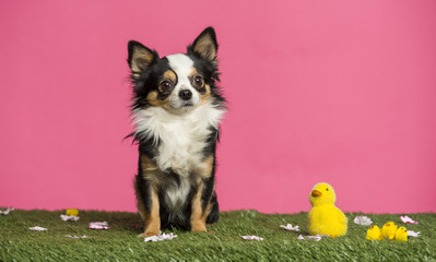 Chihuahua sitting in an easter scenery