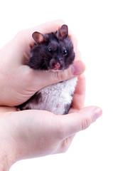 Siberian hamster in the hands