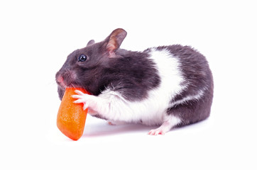 Hamster eating small carrot