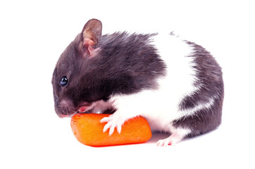 Hamster with small carrot
