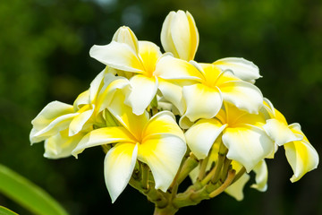 Plumeria flower, Beautiful yellow inflorescence.