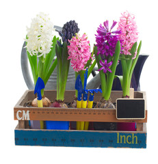 set of  hyacinth flowers