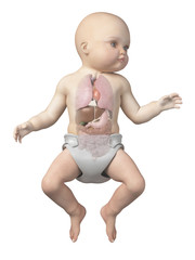 medical illustration showing the organs of a baby