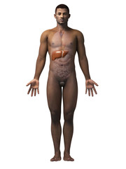 anatomy of an african american man - liver