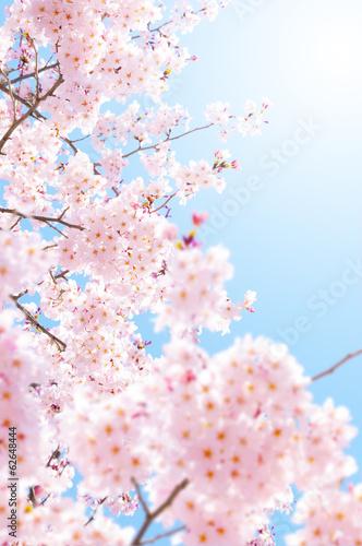 Wall mural 桜の素材